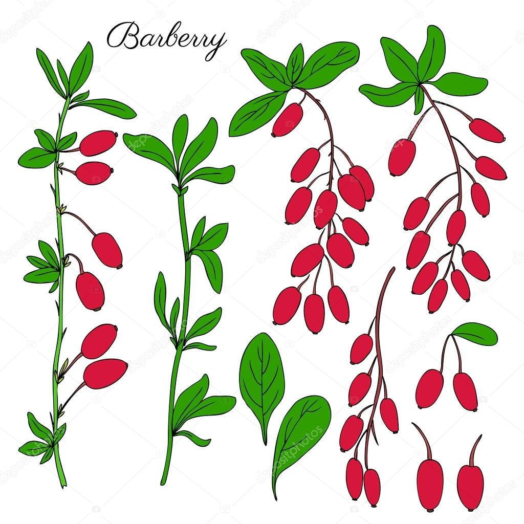 Barberry hand drawn branch vector sketch isolated on white background, colorful berry, Natural spicy herbs, graphic doodle cooking ingredient for design package tea, cosmetic, medicine, greeting cards