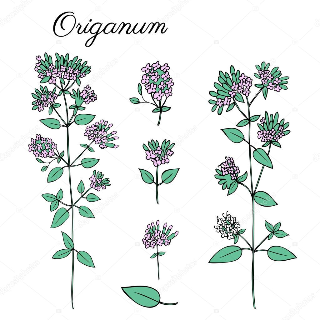 Blossoming Oregano flowers vector colorful doodle sketch hand drawn healing herb Marjoram isolated on white, botanical illustration spice, design for card, natural cosmetic, kitchen menu, herbal tea