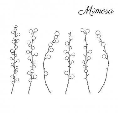Mimosa flower hand drawn vector illustration isolated on white background, ink doodle sketch, black line art for design greeting card, wedding invitation, packaging cosmetic, beauty salon, coloring