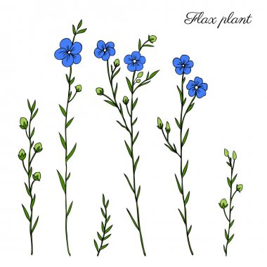 Flax plant, wild field flower isolated on white, botanical hand drawn sketch vector doodle colorful illustration, art for design package organic cosmetic, natural medicine, greeting card, vegan food