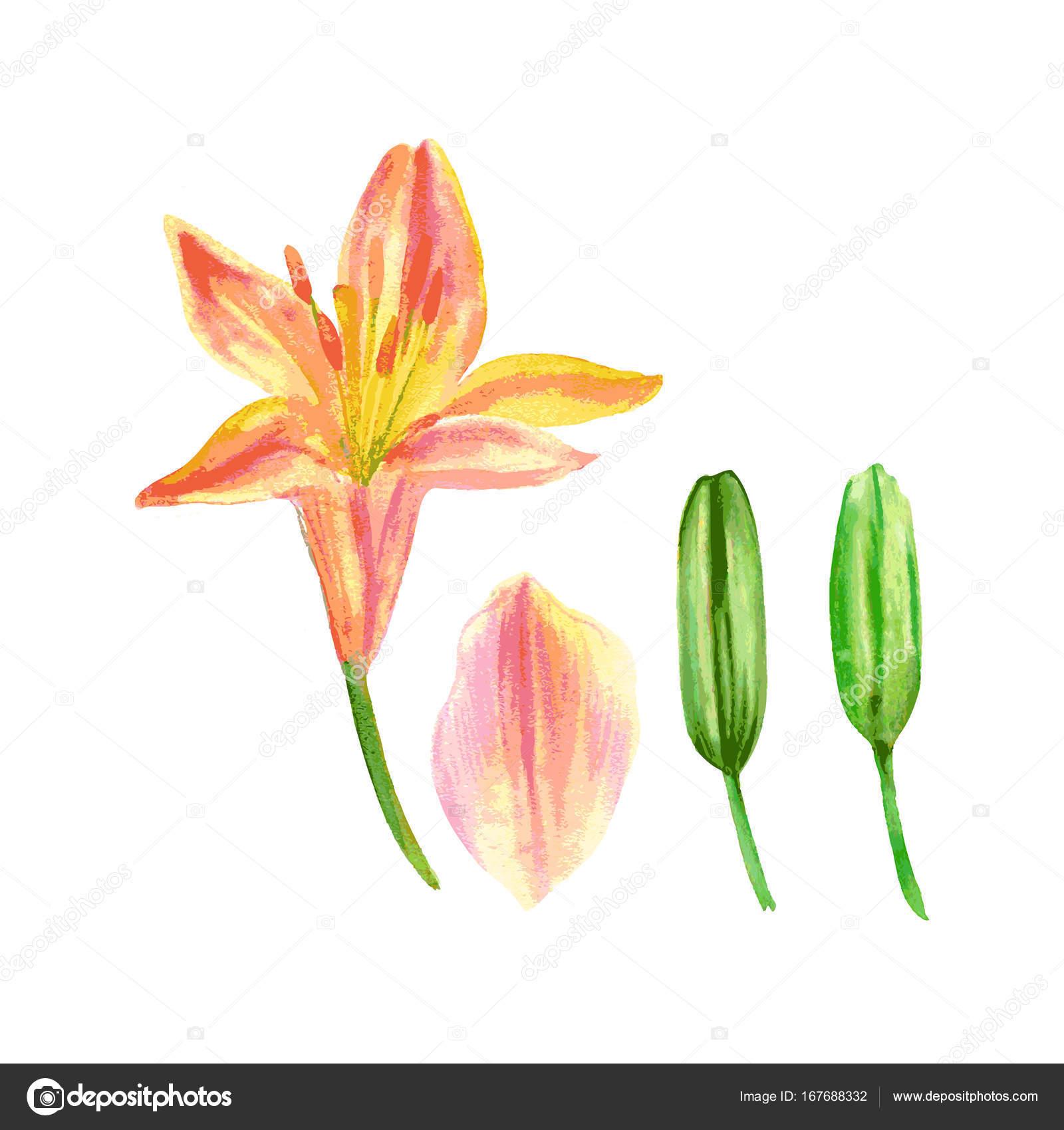 Fleur De Lys Petale Bourgeon Dessines A La Main Aquarelle
