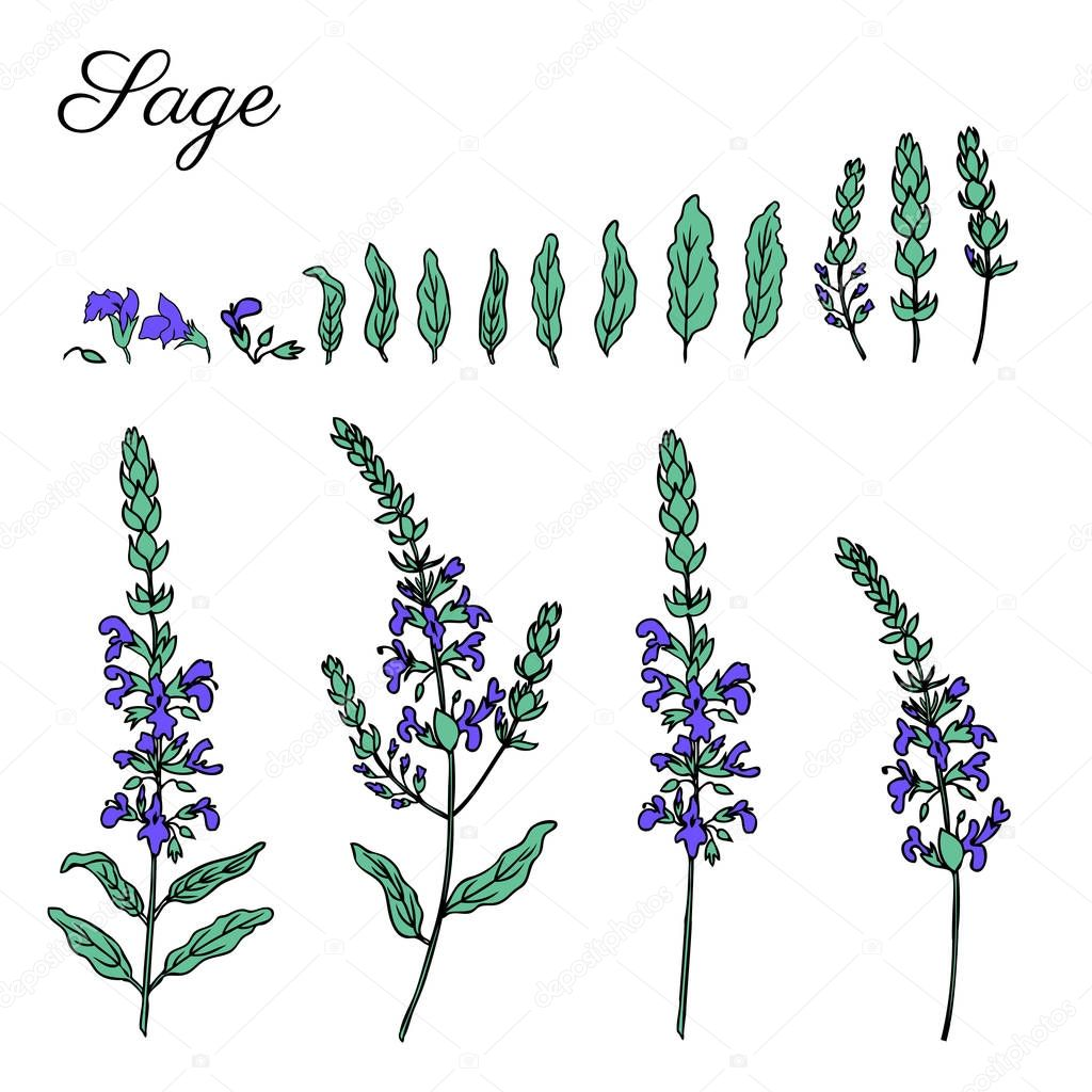 Sage flower, bud, leaves set vector isolated on white background, Hand drawn healing herbs, colorful illustration salvia officinalis, design plant for cosmetic, beauty salon, package tea, medicine