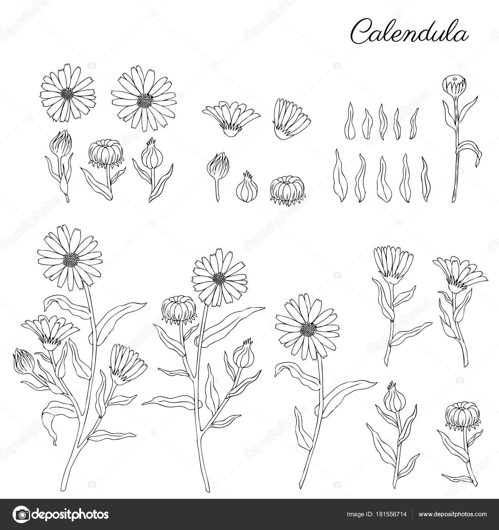 officinalis flores aisladas sobre fondo blanco, caléndula dibujado ...