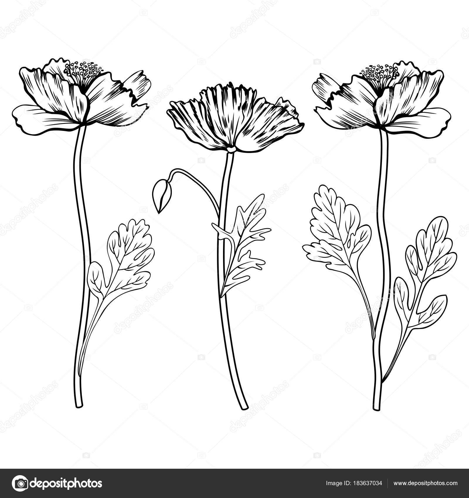 Flores de amapola, bud, deja mano vector ilustración dibujado ...