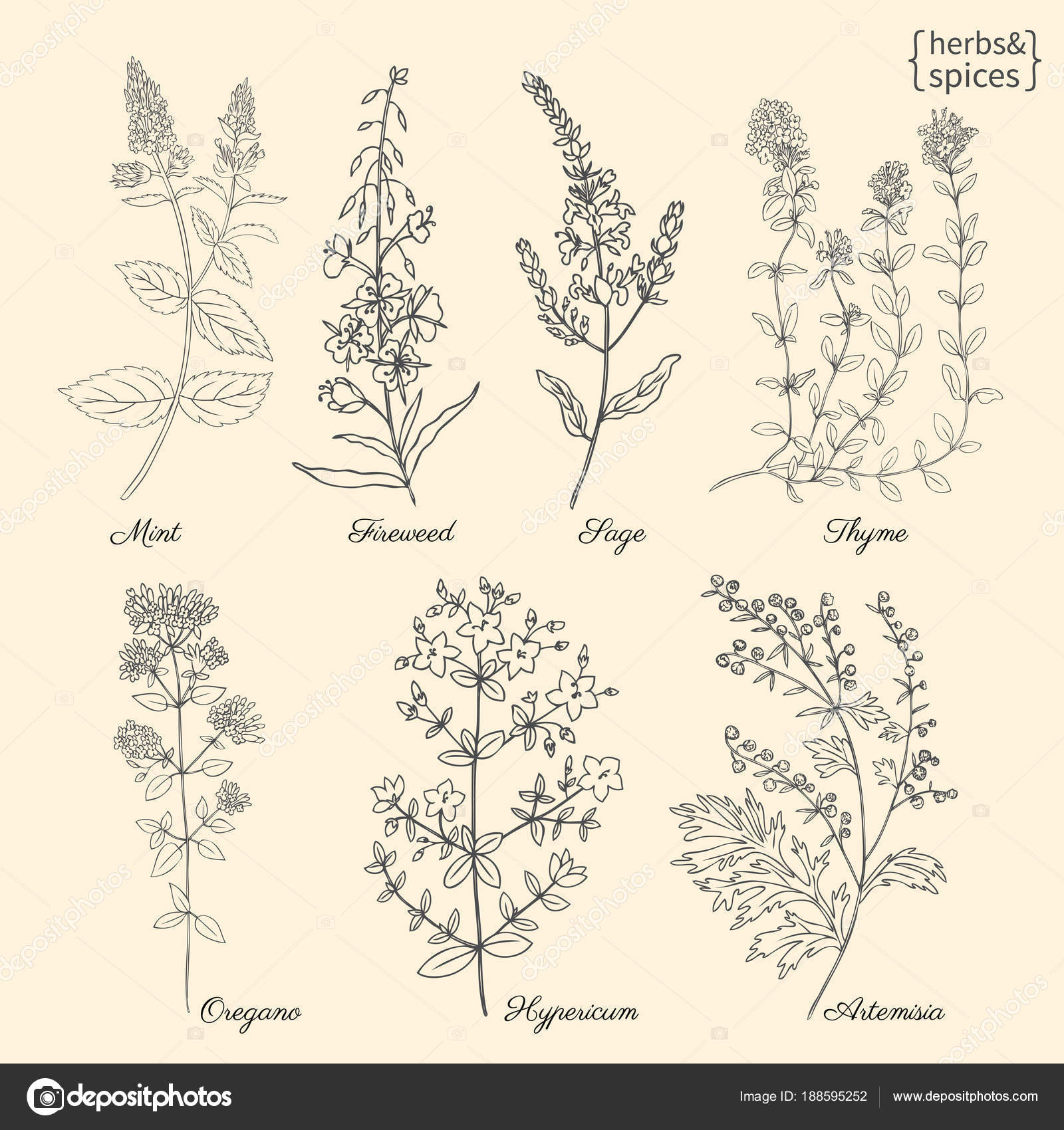 Set Of Medical Plants Mint Chamerion Fireweed Willow Herb