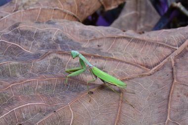 Giant Asian mantis aka hieorodula heteroptera
