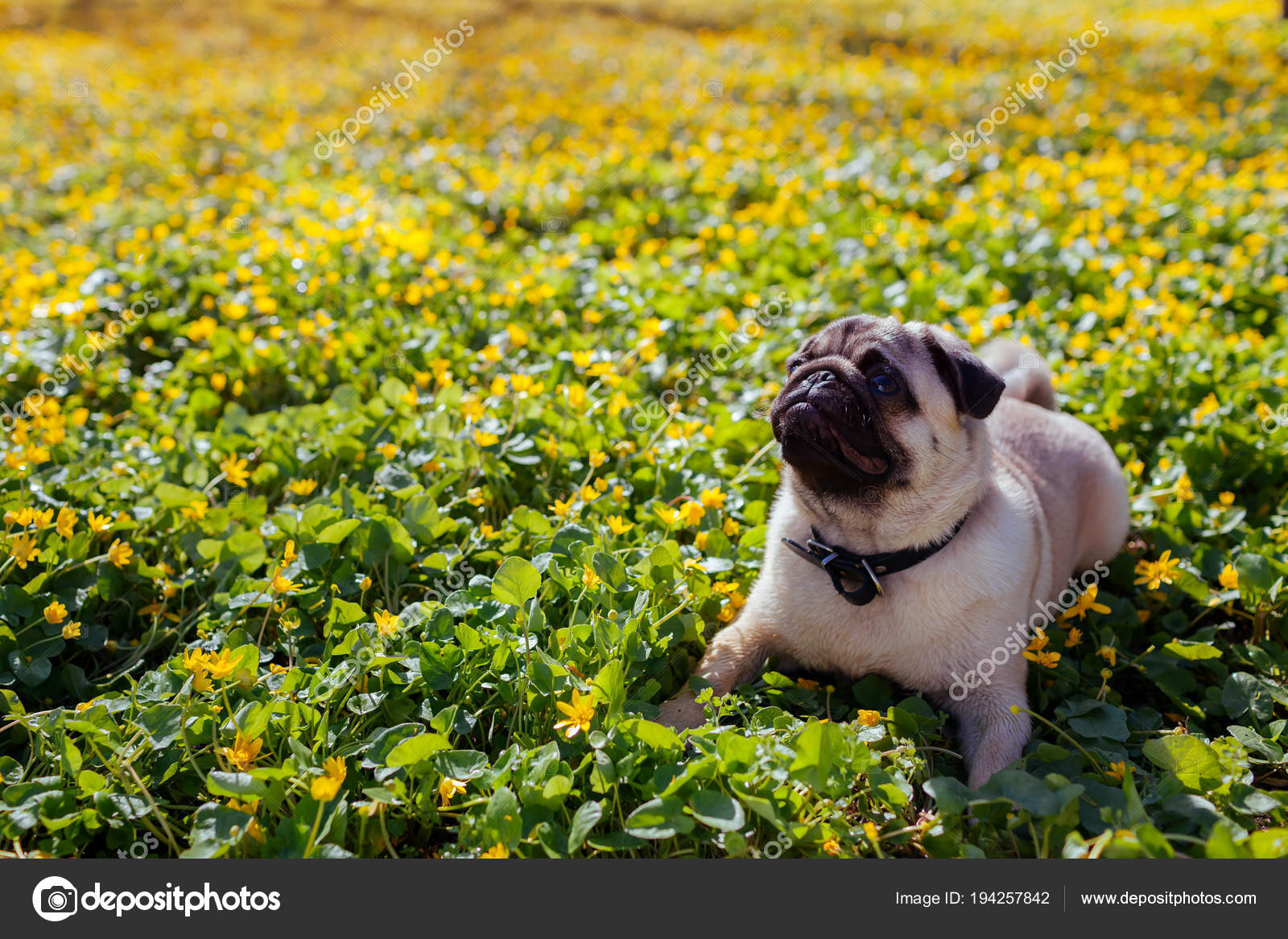 Pug Dog Walking In Spring Forest Puppy Lying Among Yellow Flowers