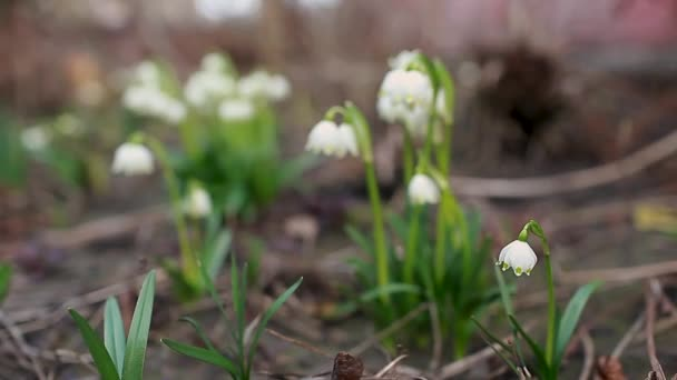 Snowdrops growing in march garden. White spring flowers. Galanthus elwesii. Natural background. Protection of floral ecosystem