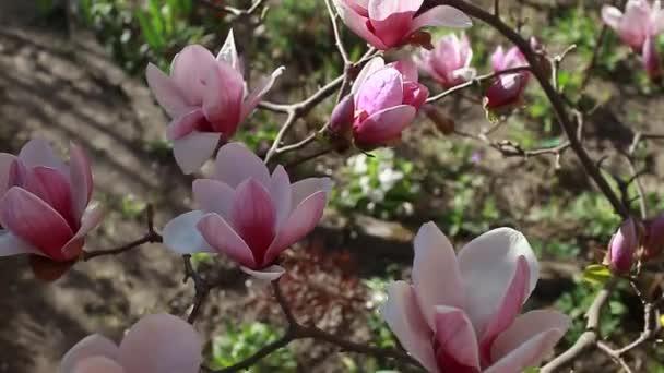 Magnoliové květiny. Strom kvetoucí růžovými květy v jarní zahradě. Kvetoucí větev. Přírodní krása