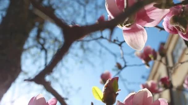 Magnoliové květiny. Strom kvetoucí růžovými květy v jarní zahradě. Kvetoucí větev. Přirozená krása. Malý úhel