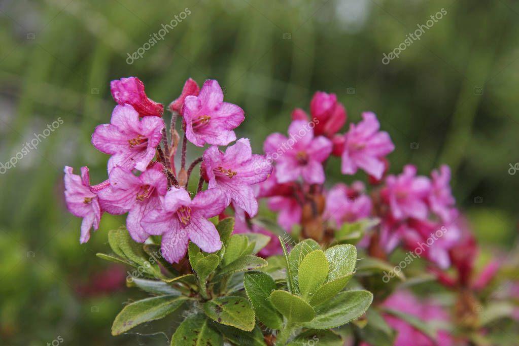 Alpine rose blossom