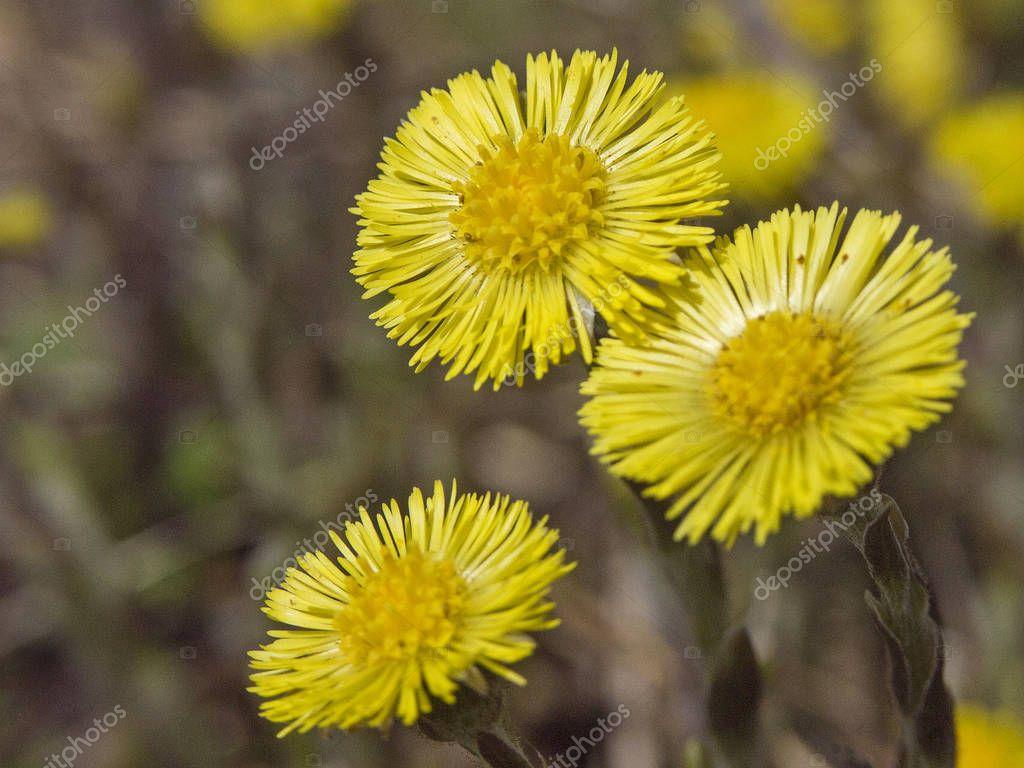 Coltsfoot - important medicinal plant