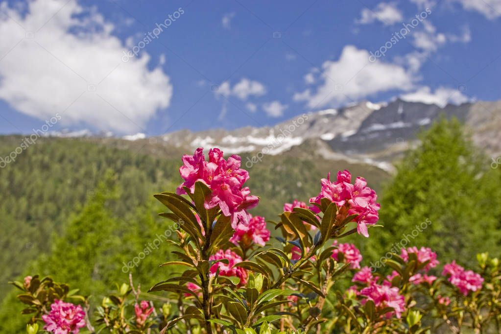 Alpine roses bloom in the mountains
