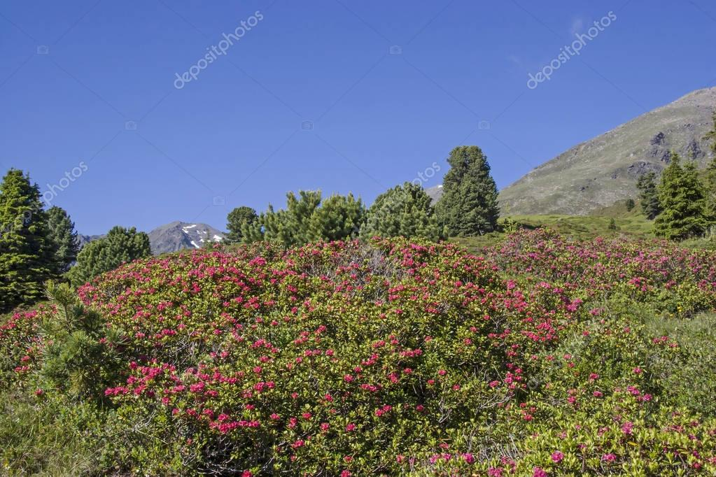 Alpine roses bloom in the Stubai Alps