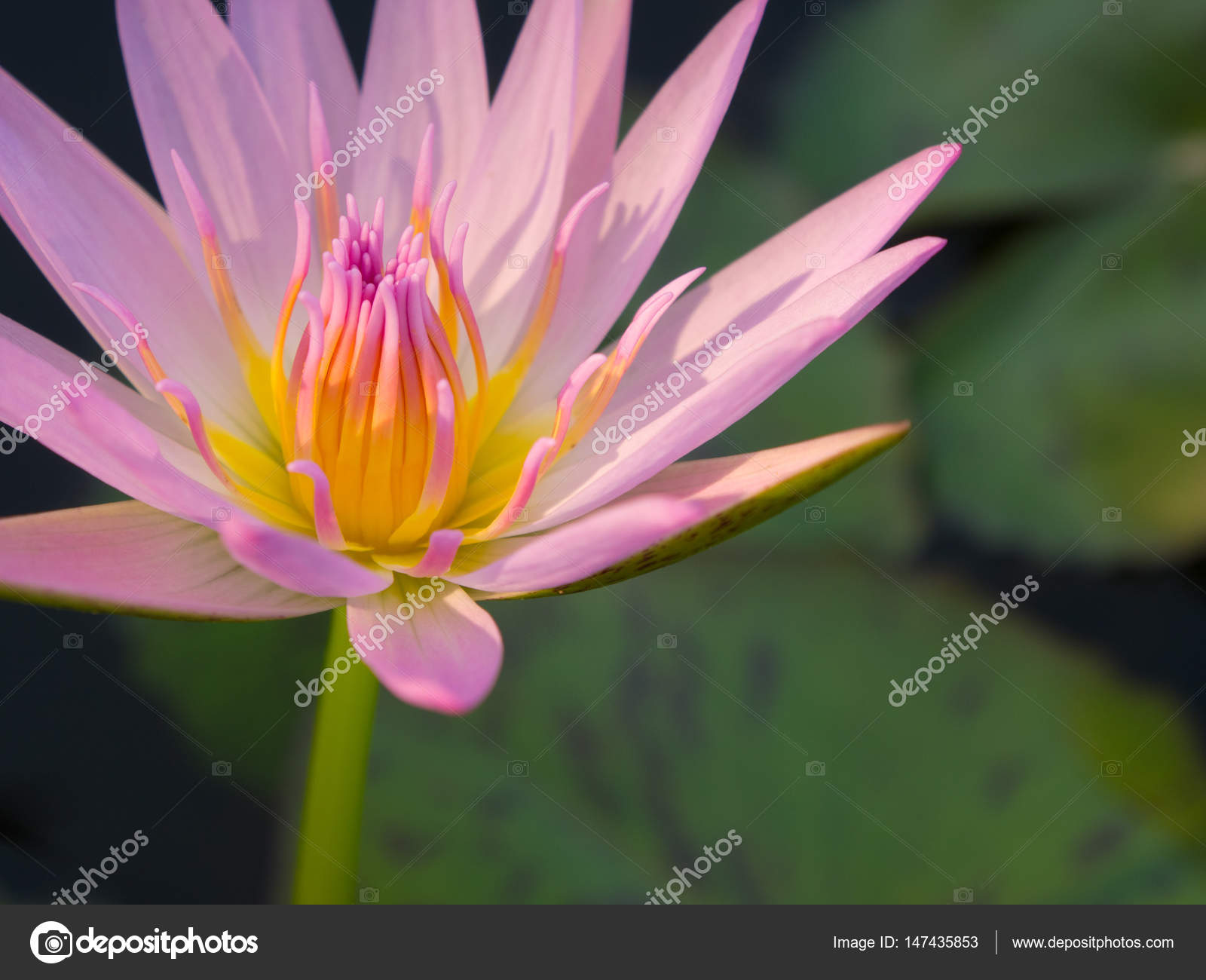 Beautiful Pink Color Water Lily Or Lotus Flower Stock Photo