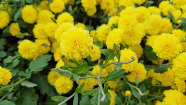 yellow color flowers chrysanthemums in autumn