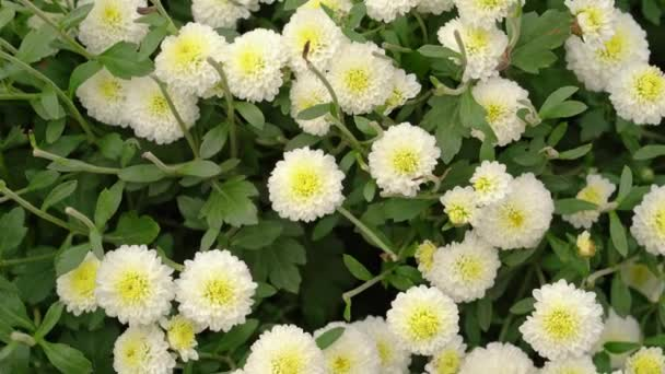 beautiful blossom white chrysanthemums flower blowing in the garden
