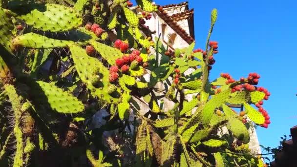 Fügekaktusz kaktusz gyümölcsökkel