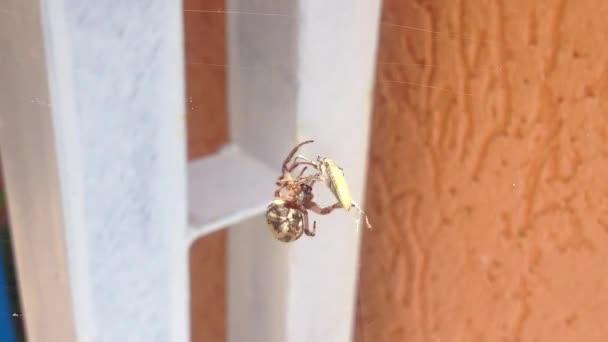 Spinne jagt ihre Beute