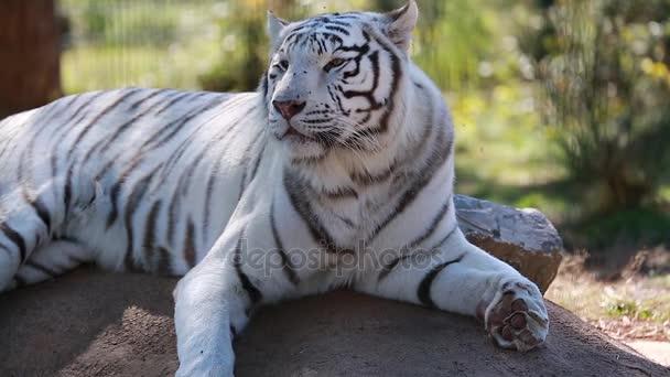 Bílý tygr vleže