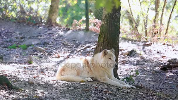 Krásné arktický Vlk