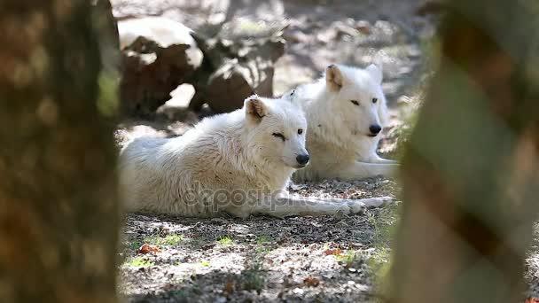 White Arctic Wolf Couple Closeup