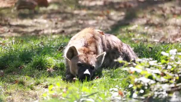 Hyena Resting On The Floor