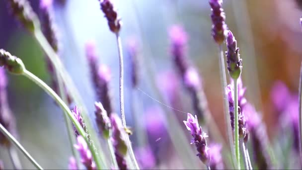 Krásné kvetoucí levandule květy ve větru