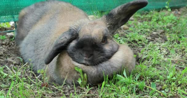 Cute Brown Rabbit Lying On The Grass In The Garden. Close Up View - DCi 4K Resolution