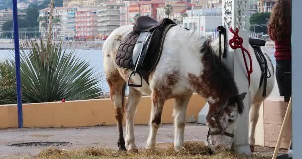 Menton, Francie - 23. ledna 2020: Krásný kůň a poník jedí seno u Středozemního moře v Mentonu na francouzské riviéře, Alpes Maritimes, Francie, Evropa. Pohled zblízka - rozlišení Dci 4k