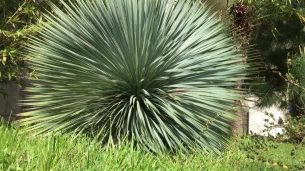 Krásný strom Yucca v tropické zahradě. Listy houpat se ve větru