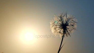 Amazing single sunny dandelion on blue sky background in sunset back-light.