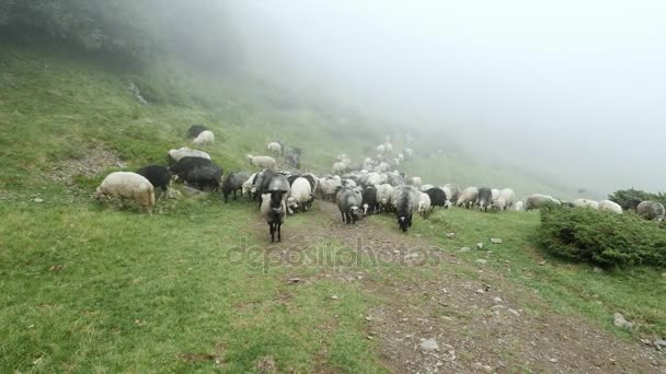 Flock of sheep grazing green grass in the meadow on a background of fog
