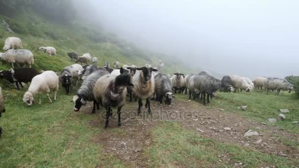 Schafherde weidet im grünen Gras auf der Wiese vor Nebelschwaden