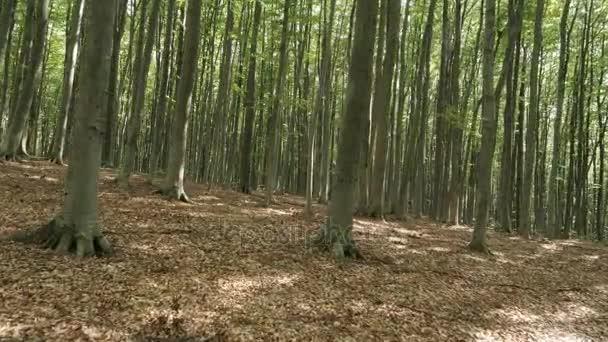 Buk zelený Les