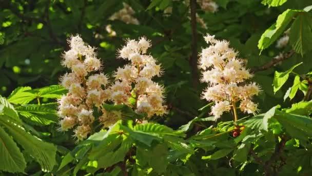 Detail kaštanového květu. kaštanem listy, za slunečného dne