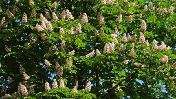 Koruna stromu kvetoucí kaštan na slunečný den s květiny a zelené listy. Střílet na 10 bit 422