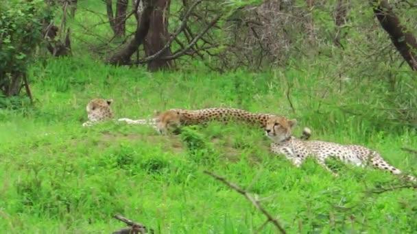 Gepardi na trávě
