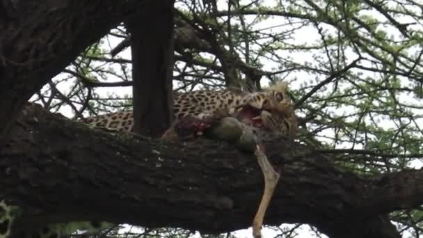 Leopard eating pray