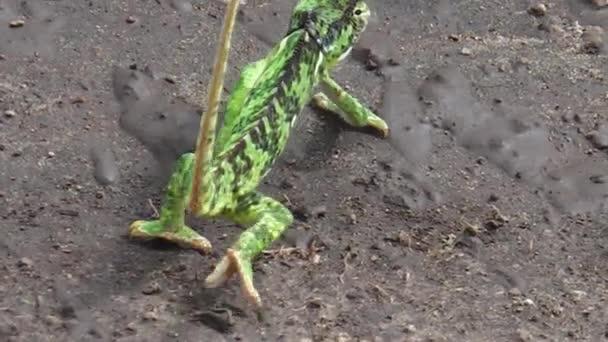 Africké zelený chameleon
