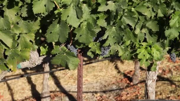 zralé červené hroznové víno