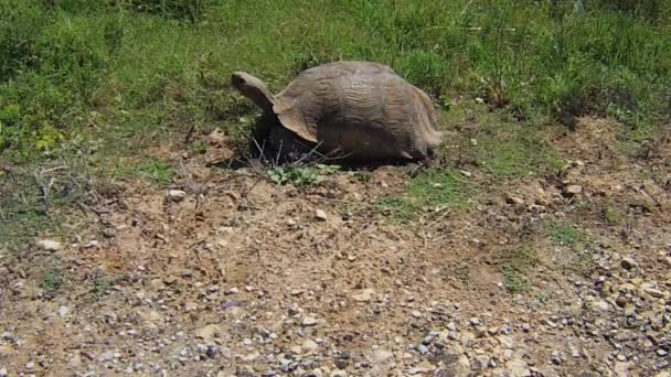 South African Turtle