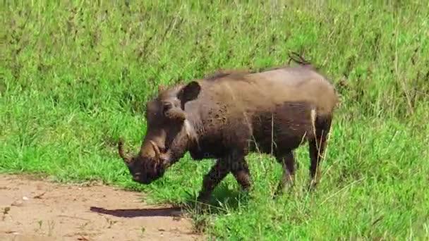 Parco nazionale del Serengeti facocero