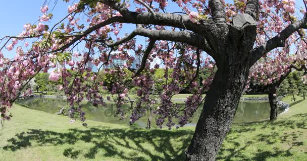 Japonská zahrada třešňový květ