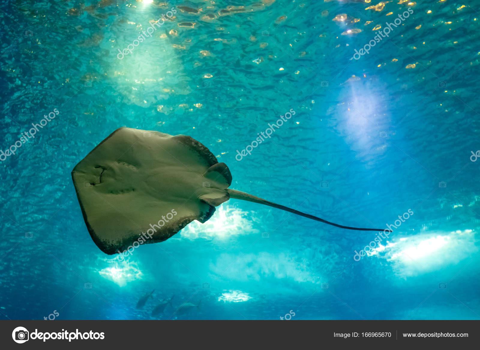 Sting Ray underwater — Stock Photo © bennymarty #166965670