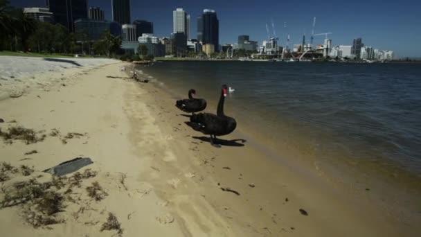 Černé labutě na Swan River Perth