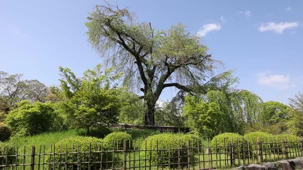 Maruyama Park cseresznye fa