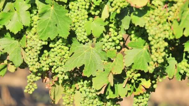Sezónní vinice pozadí