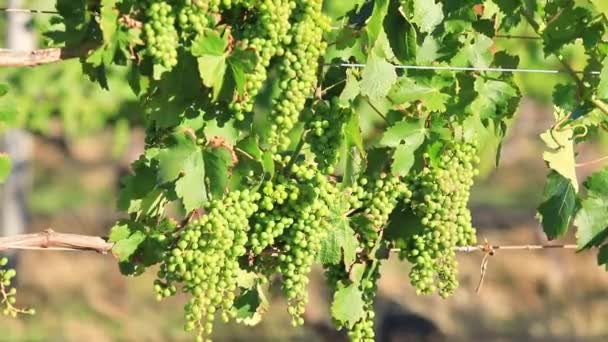 White grapes of vine