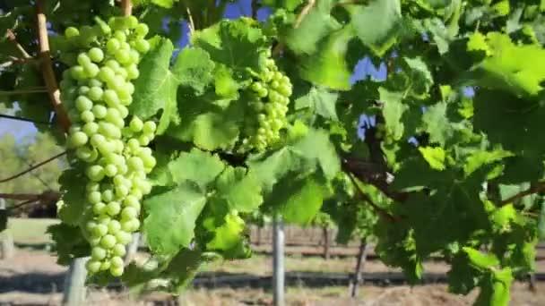 bílých hroznů na víno
